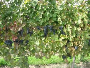 wagner-grapes.jpg