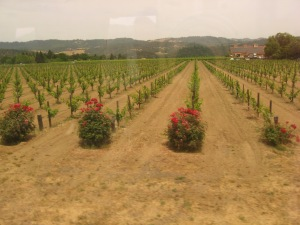 Rose Bushes In The Vineyards