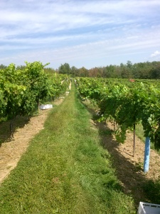 Rows of Cabernet Sauvignon in the Ripepi Vineyard