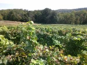 Ripepi Vineyards