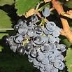 Saperavi Grapes Photo Courtesy Wikipedia