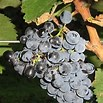 Saperavi Grapes Photo Courtesy Wikipedia