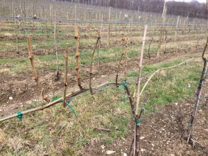 Spur and Kane pruning on same vine @ Briar Valley Vineyards
